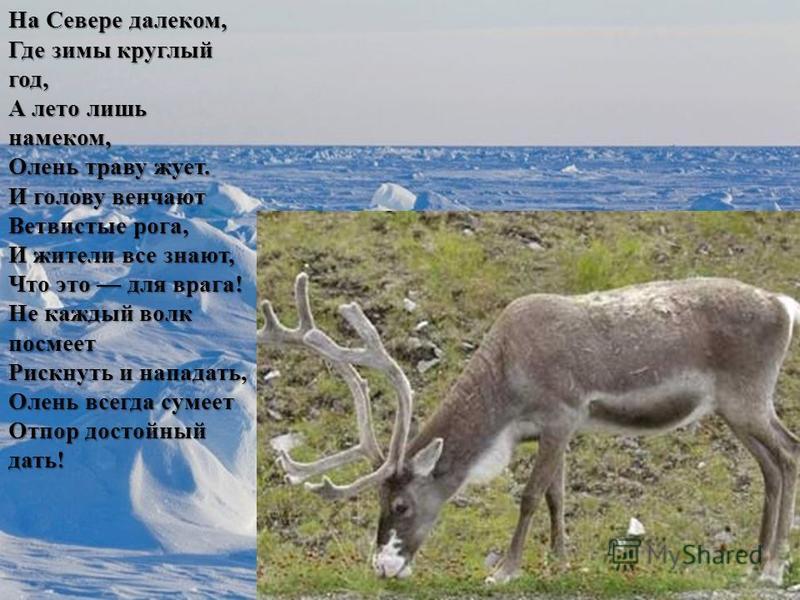 На Севере далеком, Где зимы круглый год, А лето лишь намеком, Олень траву жует. И голову венчают Ветвистые рога, И жители все знают, Что это для врага! Не каждый волк посмеет Рискнуть и нападать, Олень всегда сумеет Отпор достойный дать!