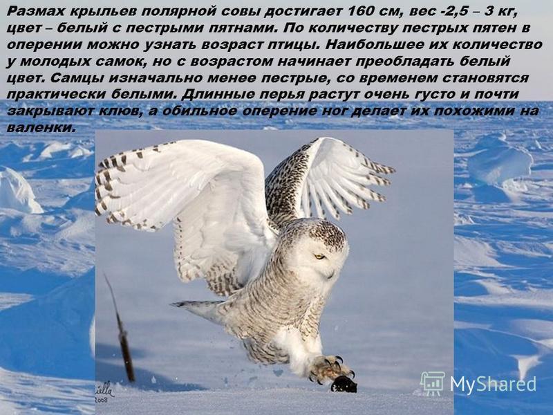 Размах крыльев полярной совы достигает 160 см, вес -2,5 – 3 кг, цвет – белый с пестрыми пятнами. По количеству пестрых пятен в оперении можно узнать возраст птицы. Наибольшее их количество у молодых самок, но с возрастом начинает преобладать белый цв