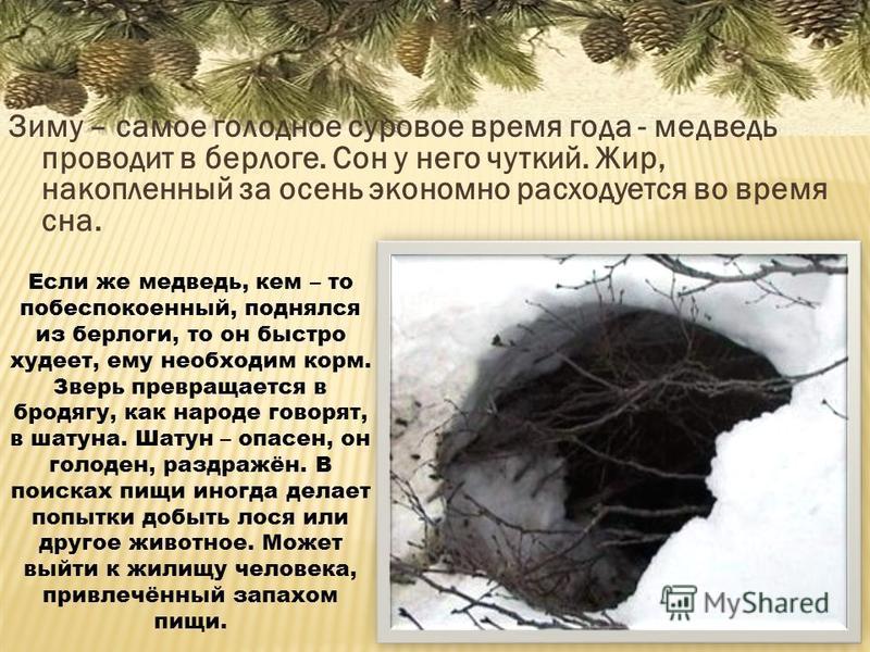 Зиму – самое голодное суровое время года - медведь проводит в берлоге. Сон у него чуткий. Жир, накопленный за осень экономно расходуется во время сна. Если же медведь, кем – то побеспокоенный, поднялся из берлоги, то он быстро худеет, ему необходим к