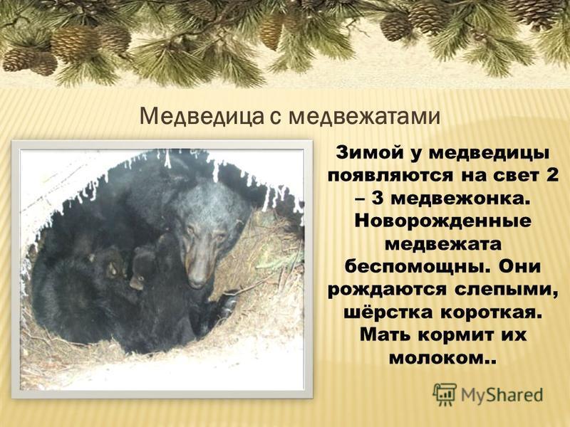 Медведица с медвежатами Зимой у медведицы появляются на свет 2 – 3 медвежонка. Новорожденные медвежата беспомощны. Они рождаются слепыми, шёрстка короткая. Мать кормит их молоком..