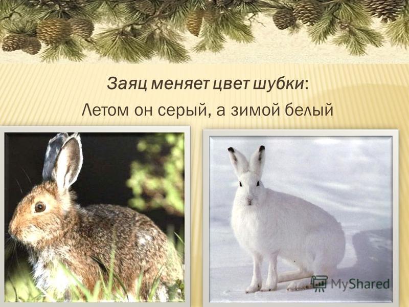 Заяц меняет цвет шубки: Летом он серый, а зимой белый