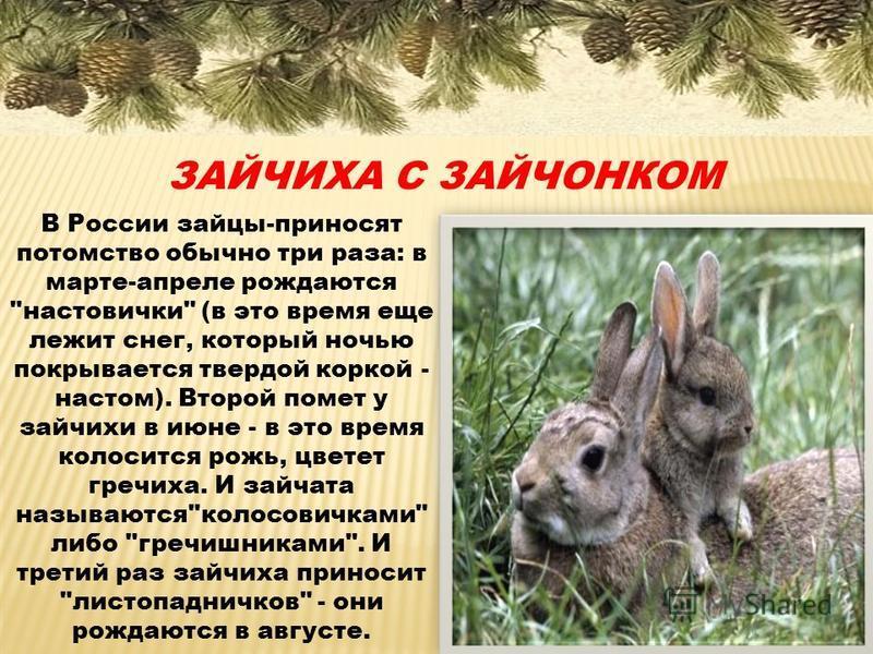 ЗАЙЧИХА С ЗАЙЧОНКОМ В России зайцы-приносят потомство обычно три раза: в марте-апреле рождаются