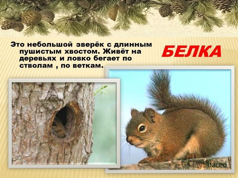 Это небольшой зверёк с длинным пушистым хвостом. Живёт на деревьях и ловко бегает по стволам, по веткам. БЕЛКА