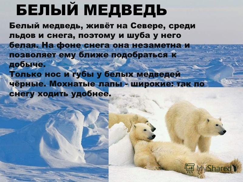 Белый медведь, живёт на Севере, среди льдов и снега, поэтому и шуба у него белая. На фоне снега она незаметна и позволяет ему ближе подобраться к добыче. Только нос и губы у белых медведей чёрные. Мохнатые лапы - широкие: так по снегу ходить удобнее.
