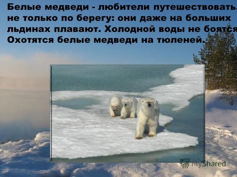 Белые медведи - любители путешествовать. И не только по берегу: они даже на больших льдинах плавают. Холодной воды не боятся. Охотятся белые медведи на тюленей.
