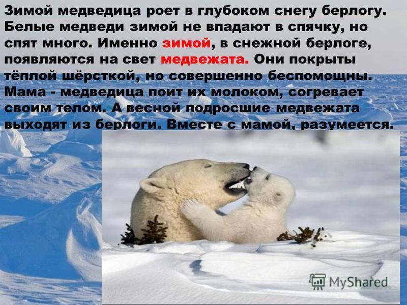 Зимой медведица роет в глубоком снегу берлогу. Белые медведи зимой не впадают в спячку, но спят много. Именно зимой, в снежной берлоге, появляются на свет медвежата. Они покрыты тёплой шёрсткой, но совершенно беспомощны. Мама - медведица поит их моло