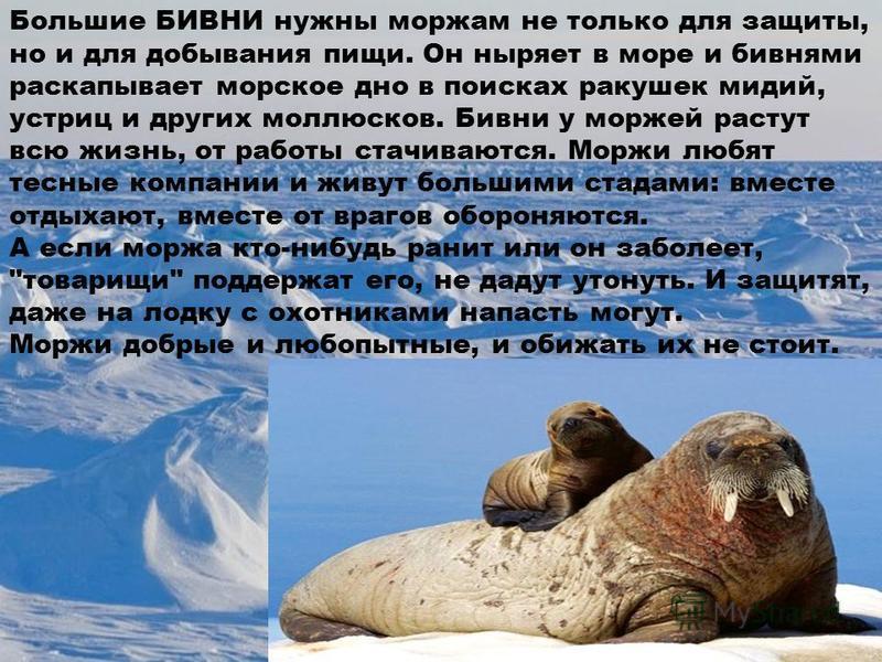 Большие БИВНИ нужны моржам не только для защиты, но и для добывания пищи. Он ныряет в море и бивнями раскапывает морское дно в поисках ракушек мидий, устриц и других моллюсков. Бивни у моржей растут всю жизнь, от работы стачиваются. Моржи любят тесны