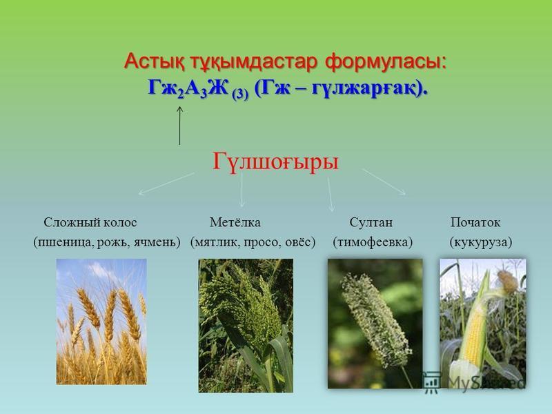 Астық тұқымдастар формуласы: Гж 2 А 3 Ж (3) (Гж – гүлжарғақ). Гүлшоғыры Сложный колос Метёлка Султан Початок (пшеница, рожь, ячмень) (мятлик, просо, овёс) (тимофеевка) (кукуруза)