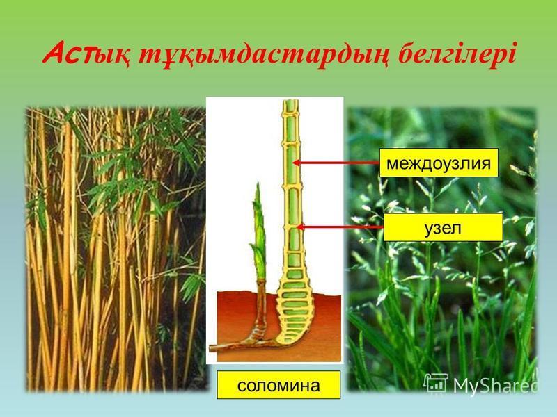 Аст ық тұқымдастардың белгілері узелмеждоузлия соломина