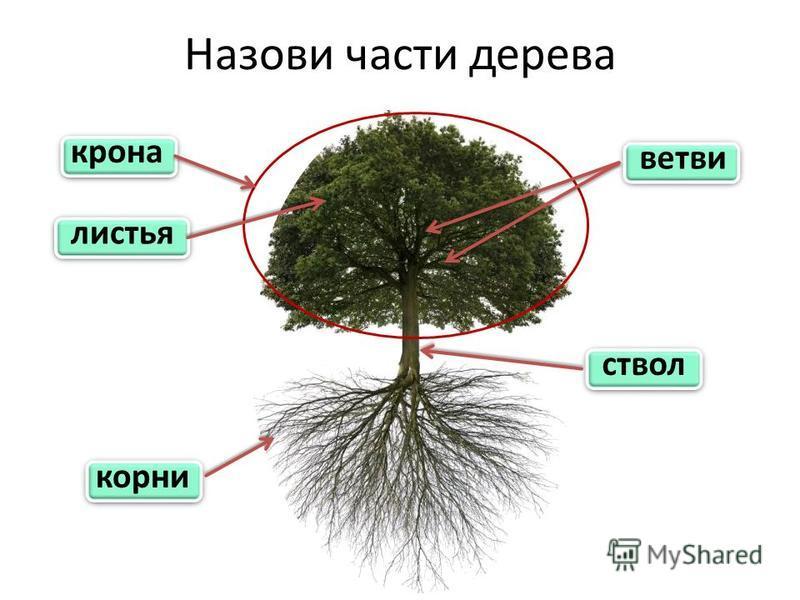 Назови части дерева крона корни ствол листья ветви