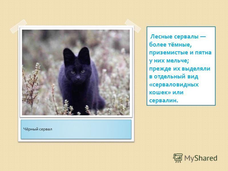 Лесные сервалы более тёмные, приземистые и пятна у них мельче ; прежде их выделяли в отдельный вид « серваловидных кошек » или сервалин. Чёрный сервал
