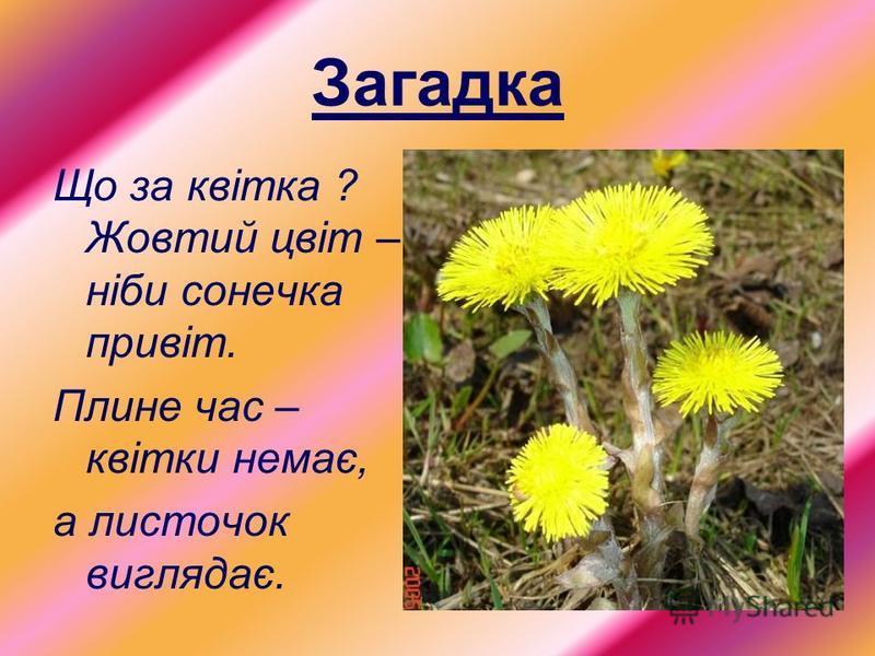 Загадка Що за квітка ? Жовтий цвіт – ніби сонечка привіт. Плине час – квітки немає, а листочок виглядає.