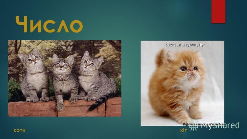 Число коти кіт