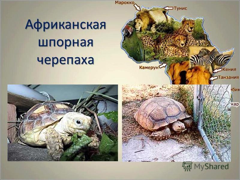 Африканская шпорная черепаха