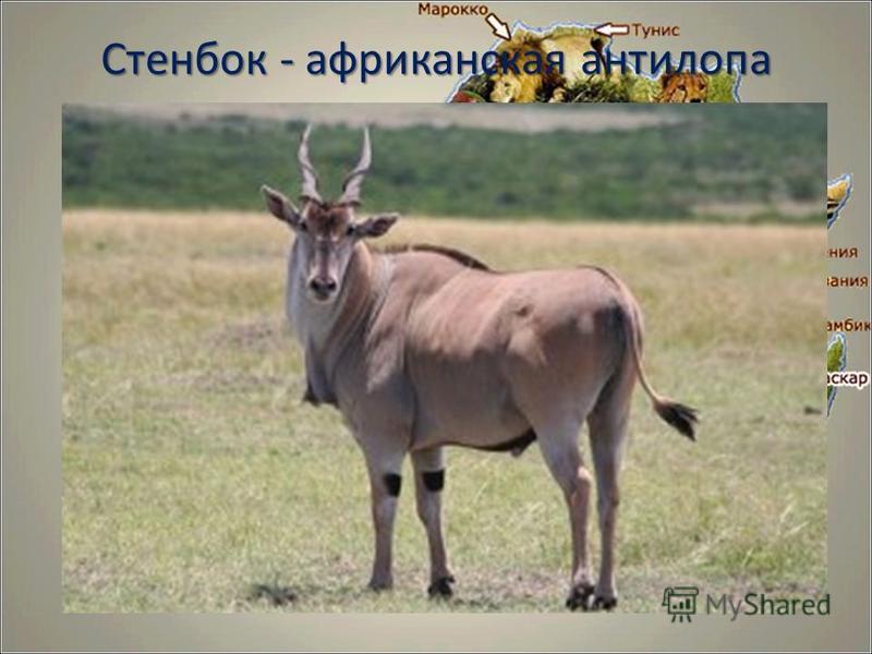 Стенбок - африканская антилопа