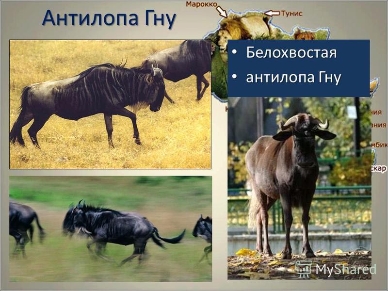 Антилопа Гну Белохвостая Белохвостая антилопа Гну антилопа Гну