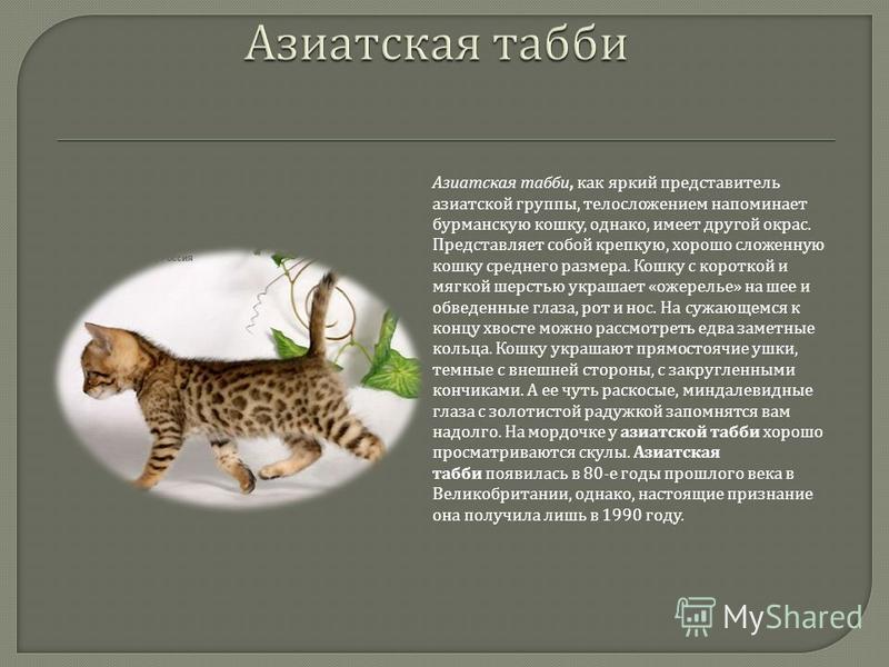 Азиатская табби, как яркий представитель азиатской группы, телосложением напоминает бурманскую кошку, однако, имеет другой окрас. Представляет собой крепкую, хорошо сложенную кошку среднего размера. Кошку с короткой и мягкой шерстью украшает « ожерел