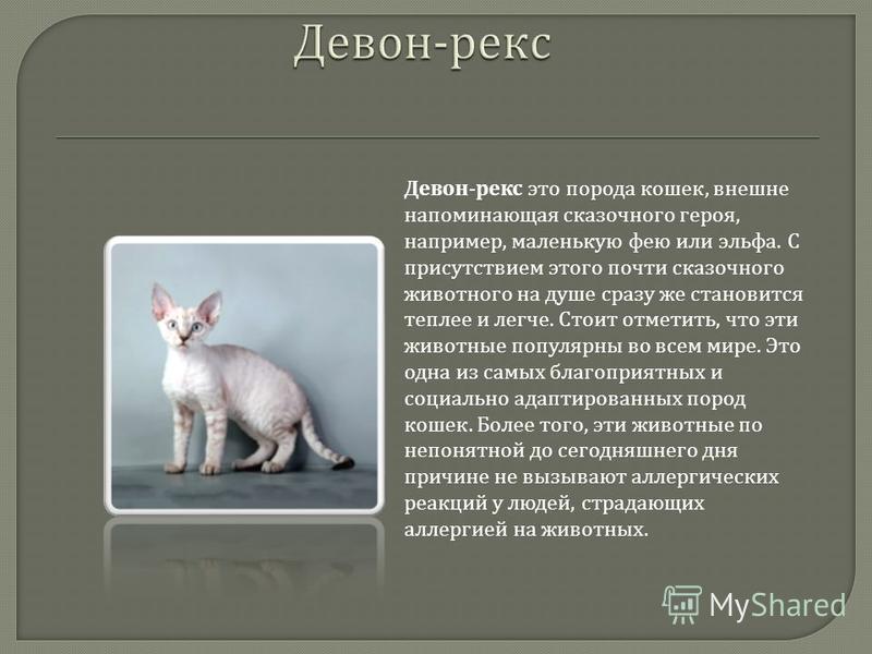Девон - рекс это порода кошек, внешне напоминающая сказочного героя, например, маленькую фею или эльфа. С присутствием этого почти сказочного животного на душе сразу же становится теплее и легче. Стоит отметить, что эти животные популярны во всем мир
