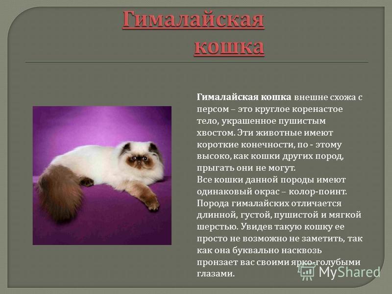 Гималайская кошка внешне схожа с персом – это круглое коренастое тело, украшенное пушистым хвостом. Эти животные имеют короткие конечности, по - этому высоко, как кошки других пород, прыгать они не могут. Все кошки данной породы имеют одинаковый окра