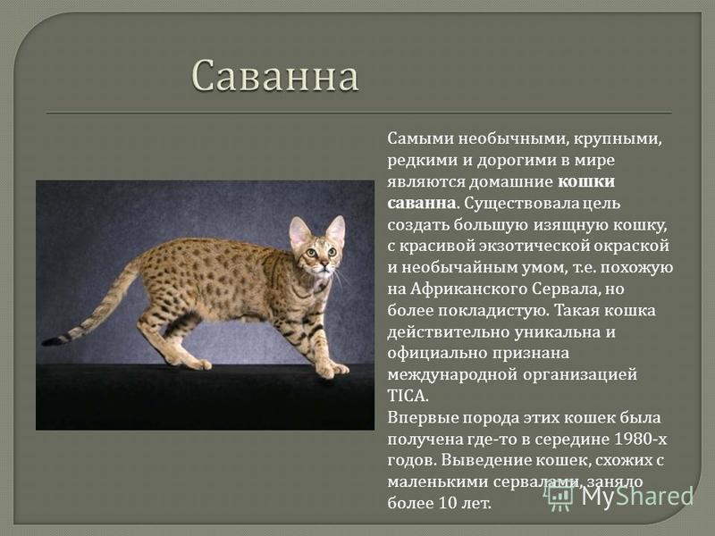 Самыми необычными, крупными, редкими и дорогими в мире являются домашние кошки саванна. Существовала цель создать большую изящную кошку, с красивой экзотической окраской и необычайным умом, т. е. похожую на Африканского Сервала, но более покладистую.