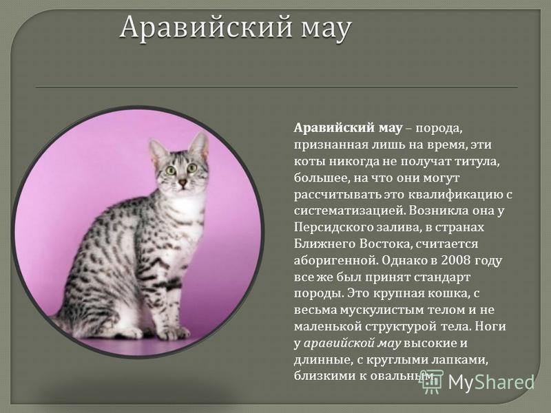 Аравийский мау – порода, признанная лишь на время, эти коты никогда не получат титула, большее, на что они могут рассчитывать это квалификацию с систематизацией. Возникла она у Персидского залива, в странах Ближнего Востока, считается аборигенной. Од
