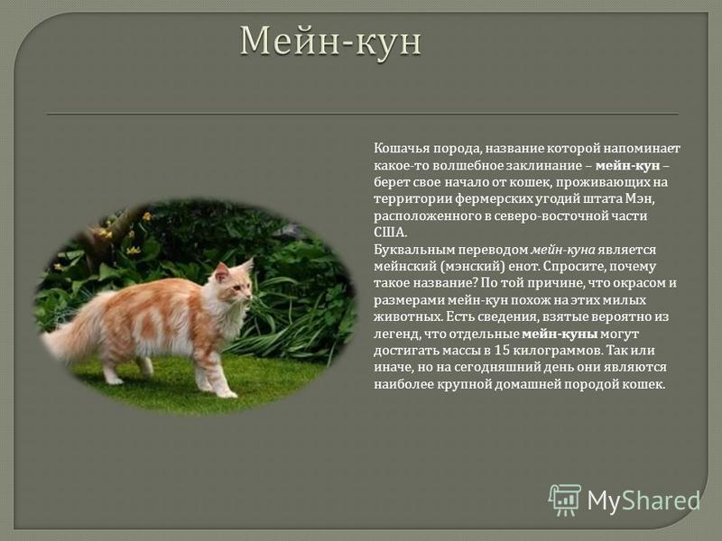Кошачья порода, название которой напоминает какое - то волшебное заклинание – мейн - кун – берет свое начало от кошек, проживающих на территории фермерских угодий штата Мэн, расположенного в северо - восточной части США. Буквальным переводом мейн - к