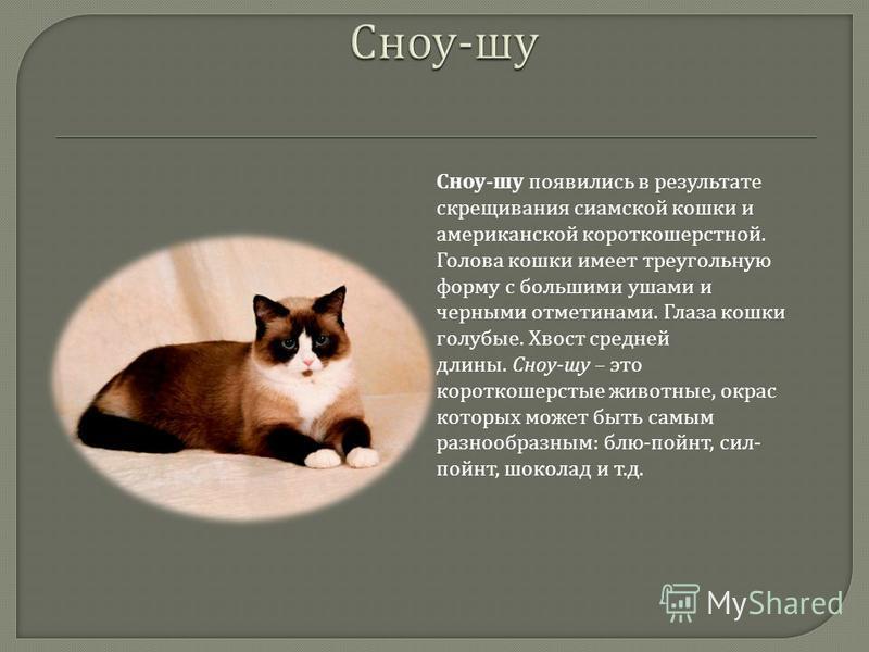 Сноу - шу появились в результате скрещивания сиамской кошки и американской короткошерстной. Голова кошки имеет треугольную форму с большими ушами и черными отметинами. Глаза кошки голубые. Хвост средней длины. Сноу - шу – это короткошерстые животные,