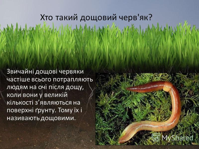 Звичайні дощові червяки частіше всього потрапляють людям на очі після дощу, коли вони у великій кількості зявляються на поверхні ґрунту. Тому їх і називають дощовими. Хто такий дощовий черв'як?