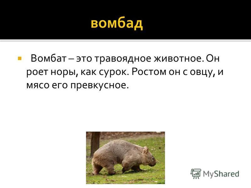 Вомбат – это травоядное животное. Он роет норы, как сурок. Ростом он с овцу, и мясо его превкусное.