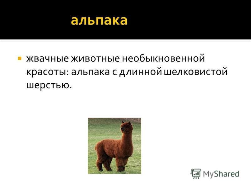 жвачные животные необыкновенной красоты: альпака с длинной шелковистой шерстью.