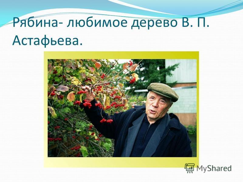 Рябина- любимое дерево В. П. Астафьева.