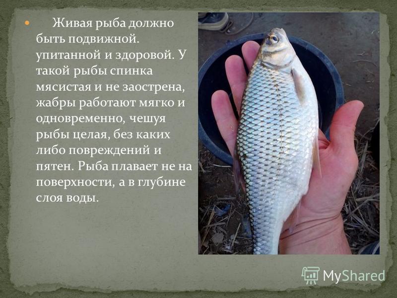 Живая рыба должно быть подвижной. упитанной и здоровой. У такой рыбы спинка мясистая и не заострена, жабры работают мягко и одновременно, чешуя рыбы целая, без каких либо повреждений и пятен. Рыба плавает не на поверхности, а в глубине слоя воды.