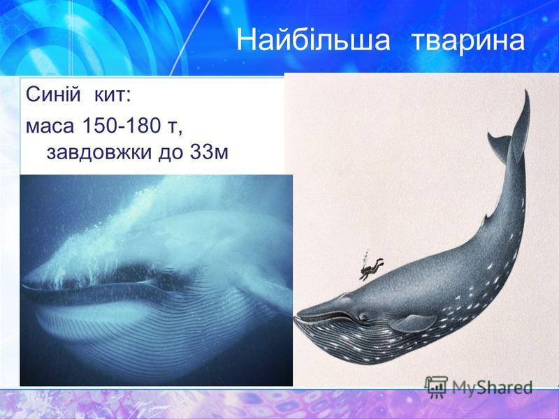 Найбільша тварина Синій кит: маса 150-180 т, завдовжки до 33м