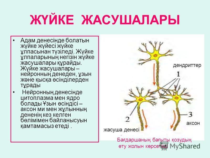 ЖҮЙКЕ ЖАСУШАЛАРЫ Адам денесінде болатын жүйке жүйесі жүйке ұлпасынан түзіледі. Жүйке ұлпаларының негізін жүйке жасушалары құрайды. Жүйке жасушалары – нейронның денеден, ұзын және қысқа өсінділерден тұрады Нейронның денесінде цитоплазма мен ядро болад