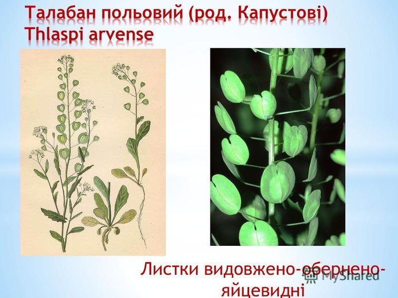 Листки видовжено-обернено- яйцевидні