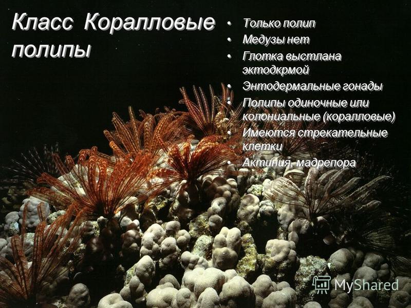 Класс Коралловые полипы Только полип Медузы нет Глотка выстлана эктодермой Энтодермальные гонады Полипы одиночные или колониальные (коралловые) Имеются стрекательные клетки Актиния, мадрепора Только полип Медузы нет Глотка выстлана эктодермой Энтодер