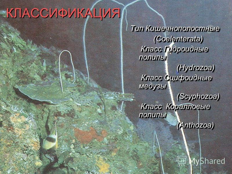 КЛАССИФИКАЦИЯ Тип Кишечнополостные (Coelenterata) Класс Гидроидные полипы Класс Гидроидные полипы(Hydrozoa) Класс Сцифоидные медузы Класс Сцифоидные медузы(Scyphozoa) Класс Коралловые полипы Класс Коралловые полипы(Anthozoa) Тип Кишечнополостные (Coe