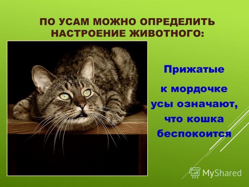 ПО УСАМ МОЖНО ОПРЕДЕЛИТЬ НАСТРОЕНИЕ ЖИВОТНОГО: Прижатые к мордочке усы означают, что кошка беспокоится