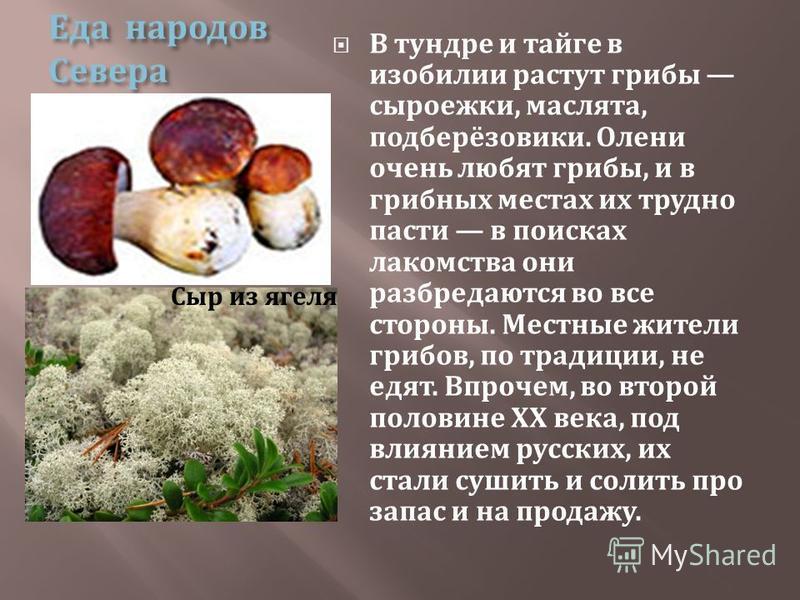 Еда народов Севера В тундре и тайге в изобилии растут грибы сыроежки, маслята, подберёзовики. Олени очень любят грибы, и в грибных местах их трудно пасти в поисках лакомства они разбредаются во все стороны. Местные жители грибов, по традиции, не едят