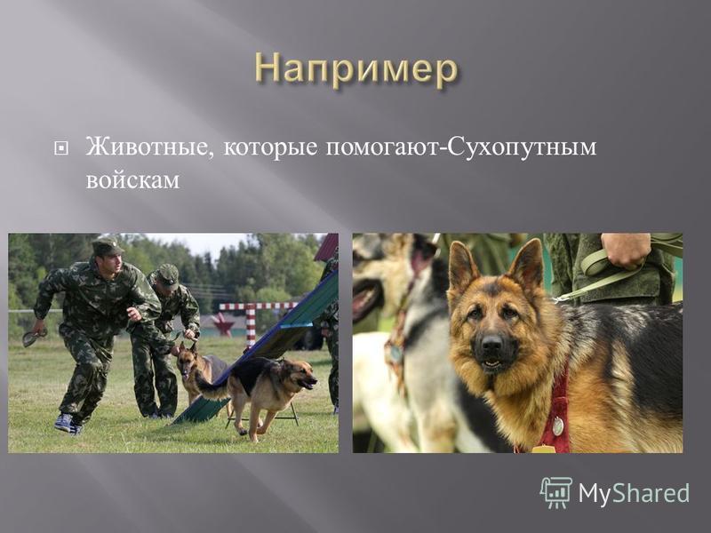 Животные, которые помогают - Сухопутным войскам