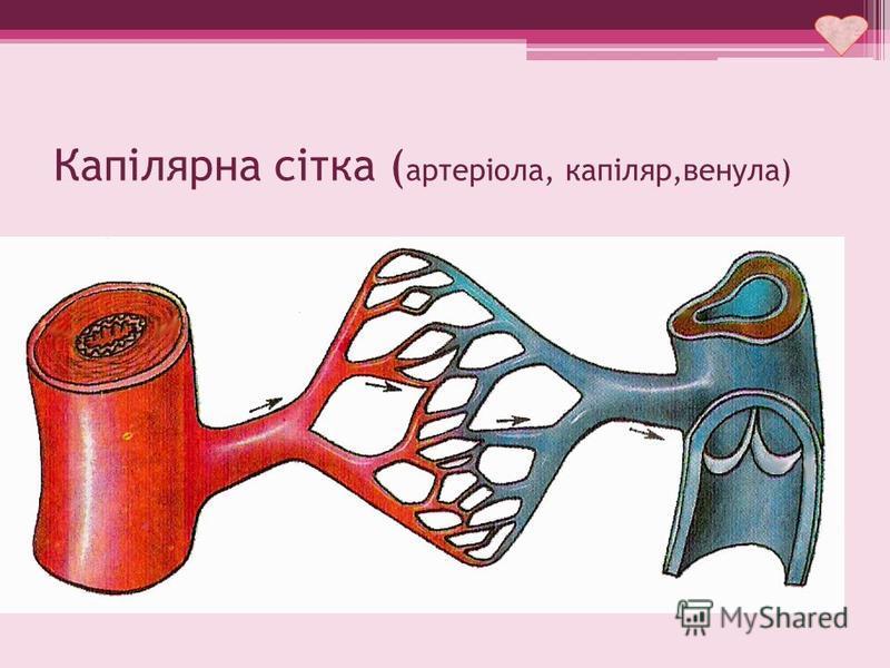 Капілярна сітка ( артеріола, капіляр,венула)