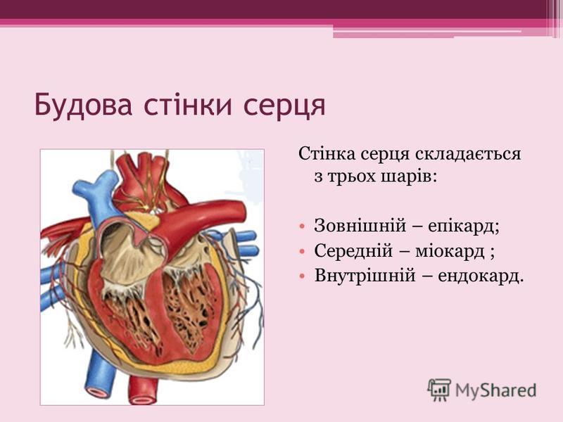 Будова стінки серця Стінка серця складається з трьох шарів: Зовнішній – епікард; Середній – міокард ; Внутрішній – ендокард.