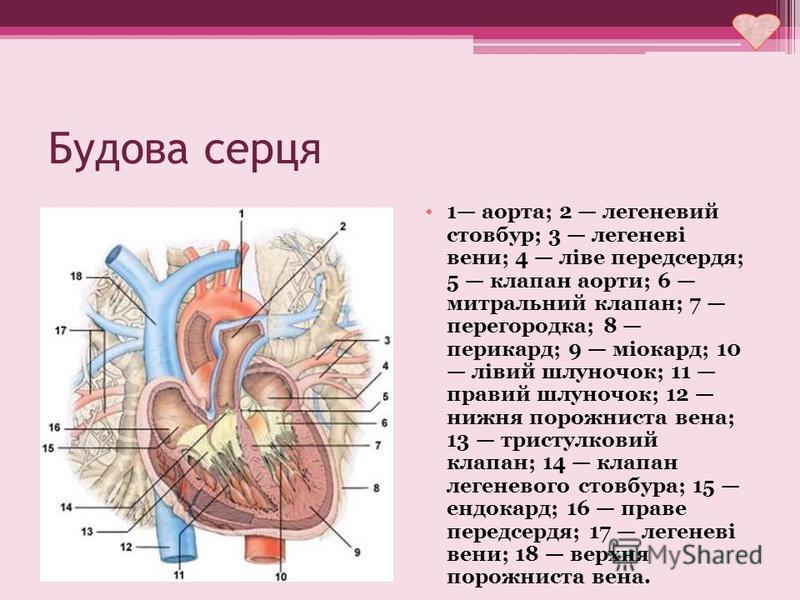 Будова серця 1 аорта; 2 легеневий стовбур; 3 легеневі вени; 4 ліве передсердя; 5 клапан аорти; 6 митральний клапан; 7 перегородка; 8 перикард; 9 міокард; 10 лівий шлуночок; 11 правий шлуночок; 12 нижня порожниста вена; 13 тристулковий клапан; 14 клап
