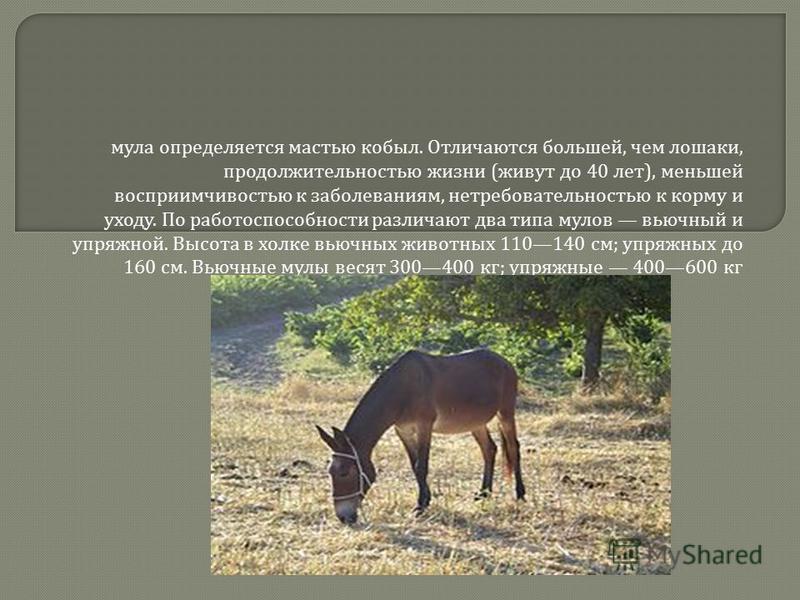 мула определяется мастью кобыл. Отличаются большей, чем лошаки, продолжительностью жизни ( живут до 40 лет ), меньшей восприимчивостью к заболеваниям, нетребовательностью к корму и уходу. По работоспособности различают два типа мулов вьючный и упряжн