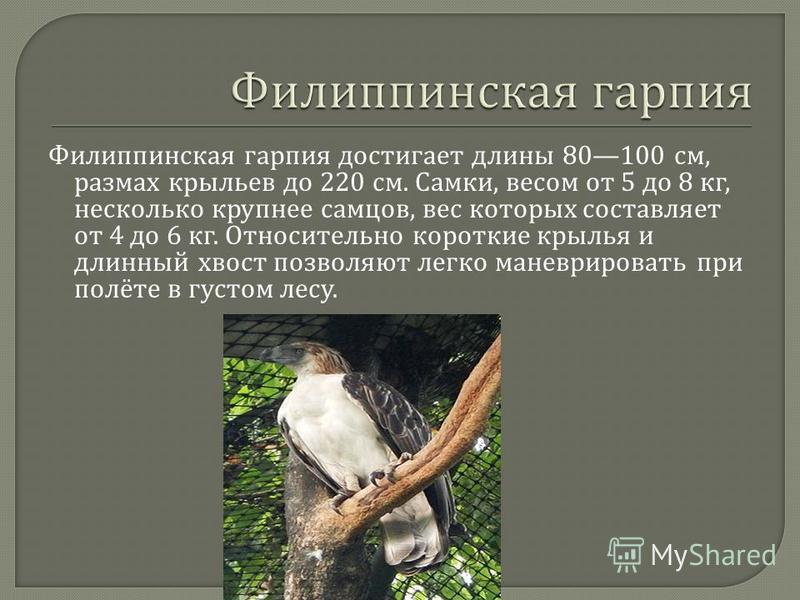 Филиппинская гарпия достигает длины 80100 см, размах крыльев до 220 см. Самки, весом от 5 до 8 кг, несколько крупнее самцов, вес которых составляет от 4 до 6 кг. Относительно короткие крылья и длинный хвост позволяют легко маневрировать при полёте в