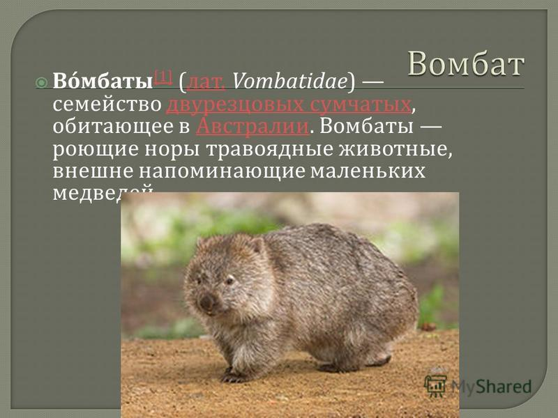 Вомбаты [1] ( лат. Vombatidae) семейство двурезцовых сумчатых, обитающее в Австралии. Вомбаты роющие норы травоядные животные, внешне напоминающие маленьких медведей. [1] лат. двурезцовых сумчатых Австралии