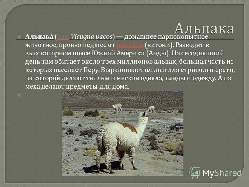 Альпак á ( лат. Vicugna pacos) домашнее парнокопытное животное, произошедшее от викуньи ( вигони ). Разводят в высокогорном поясе Южной Америки ( Анды ). На сегодняшний день там обитает около трех миллионов альпах, большая часть из которых населяет П