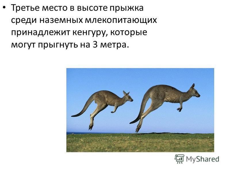Третье место в высоте прыжка среди наземных млекопитающих принадлежит кенгуру, которые могут прыгнуть на 3 метра.