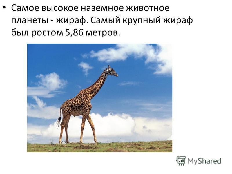 Самое высокое наземное животное планеты - жираф. Самый крупный жираф был ростом 5,86 метров.