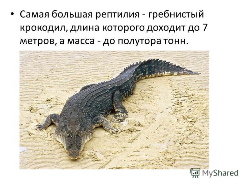 Самая большая рептилия - гребнистый крокодил, длина которого доходит до 7 метров, а масса - до полутора тонн.